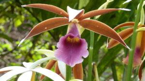 fleur orchidée Costa Rica