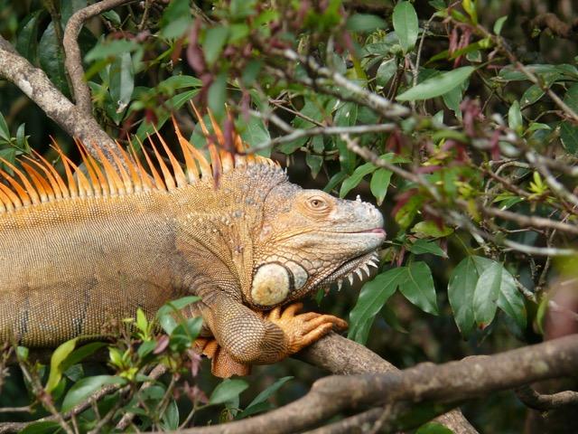 Iguane commun - Monteverde