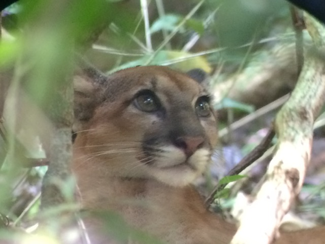 Corcovado - puma