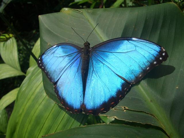 papillon Morpho - Monteverde