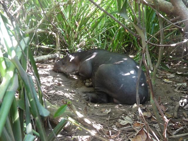 Corcovado - tapir