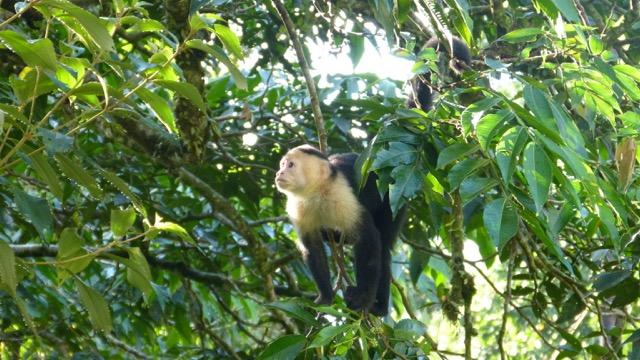 singe a tete blanche manuel antonio