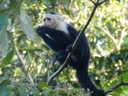 singe a tete blanche cahuita