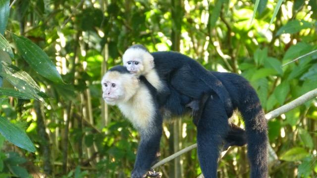 singe et bébé singe sur le dos
