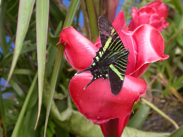urania - papillon Monteverde