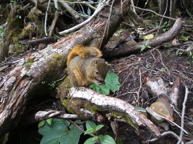 écureuil Costa Rica