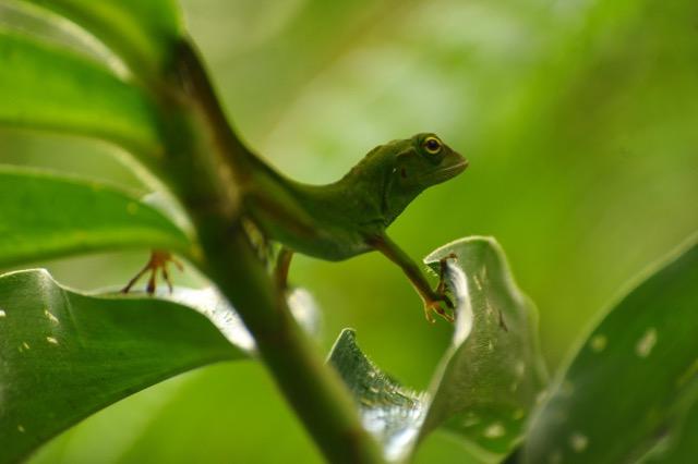 Costa Rica lézard arbre