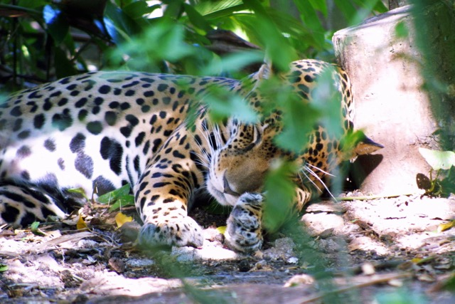 Jaguar (Panthera onca), refuge de CaÒas.