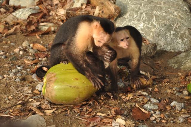 Costa Rica singes a tete blanche