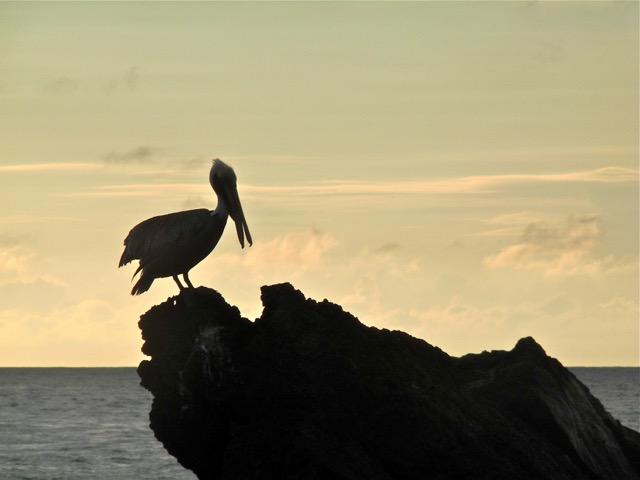 oiseau marin costa rica