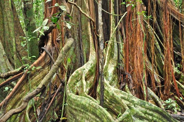arbre géant Corcovado