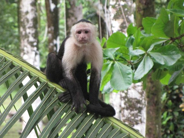 singe à tete blanche
