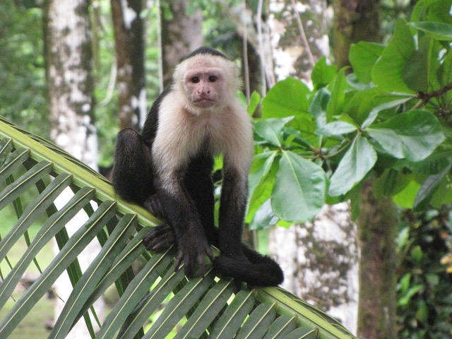 Costa Rica singe à tête blanche
