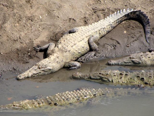crocodile Tiercoles Costa Rica