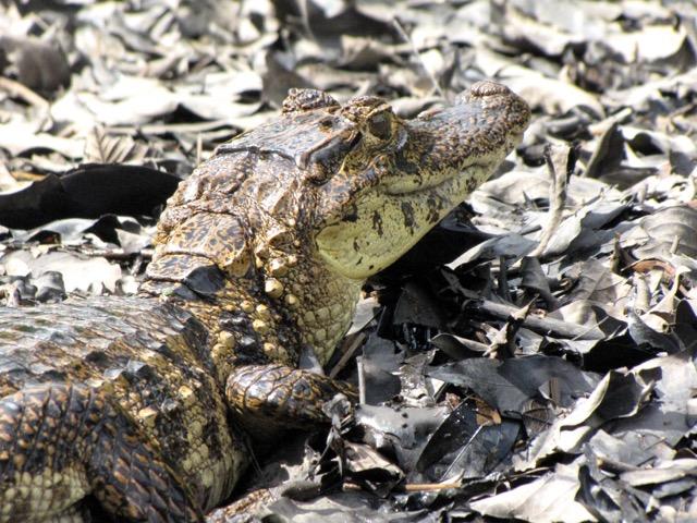 caiman Costa Rica