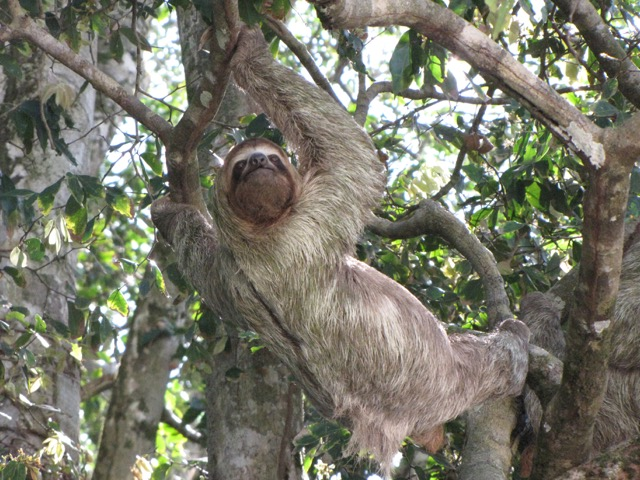 Costa Rica paresseux dans l'arbre