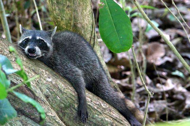singe paresseux costa rica