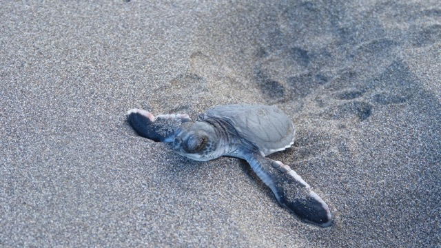bébé tortue va à la mer costa rica