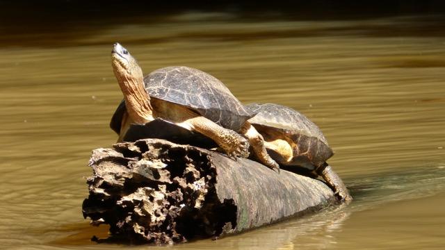 tortues Costa Rica