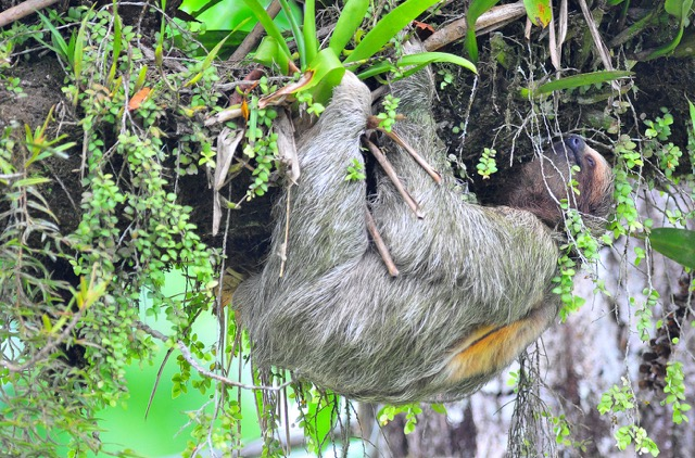 singe paresseux