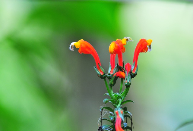 fleurs Costa Rica