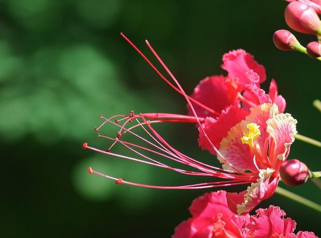 fleur Costa Rica