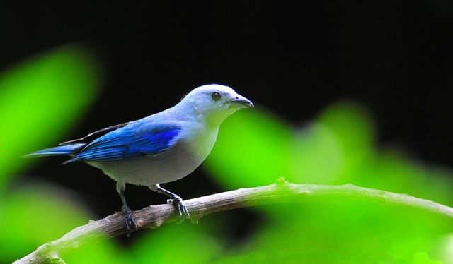 oiseau coata rica