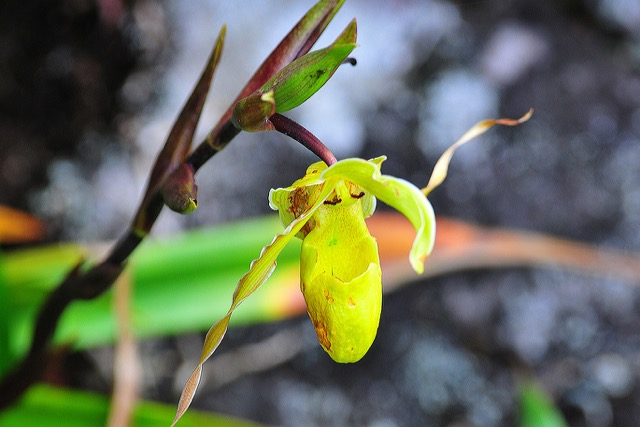 orchidée costa rica