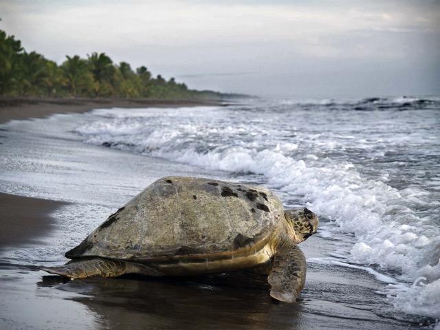 turtue qui retourne à la mer Tortuguero