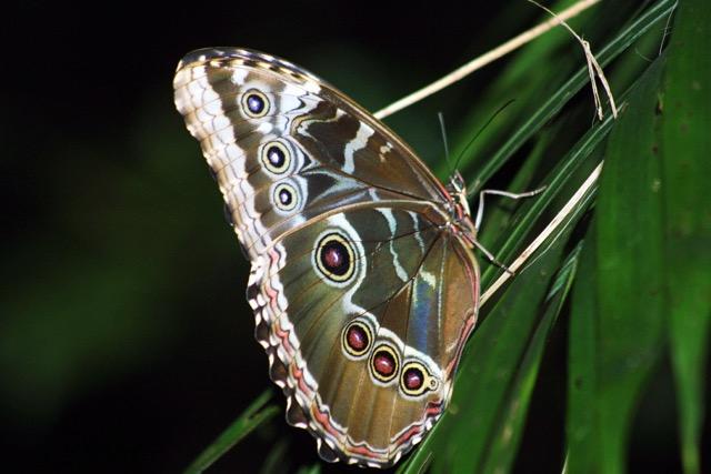Papillon morpho (Morpho peleides limpida), forêt de Rincon de la Vieja. Costa Rica, le 12 avril 2004.