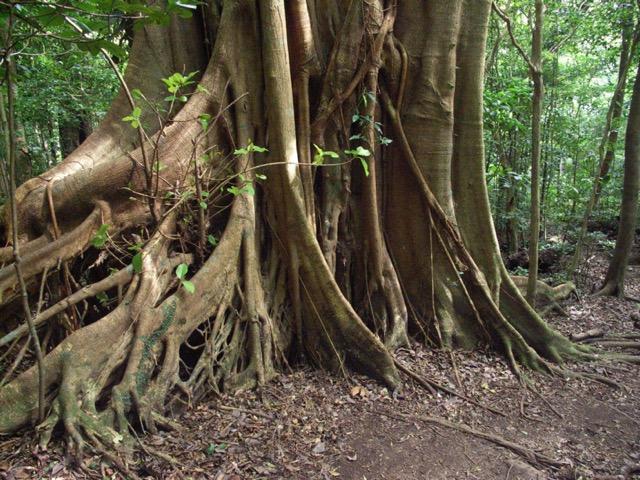 grand arbre péninsule d'osa