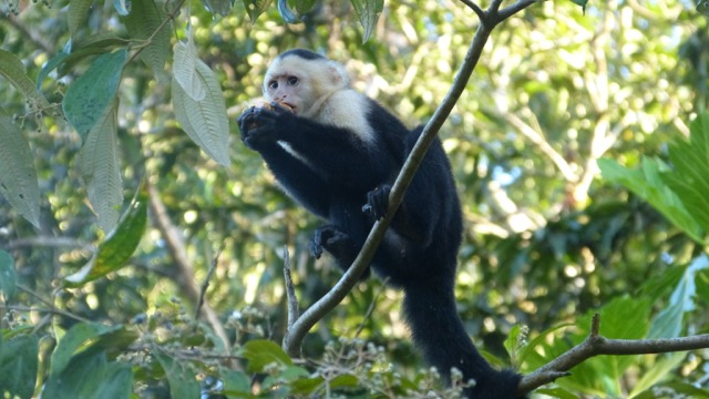 singe à tête blanche