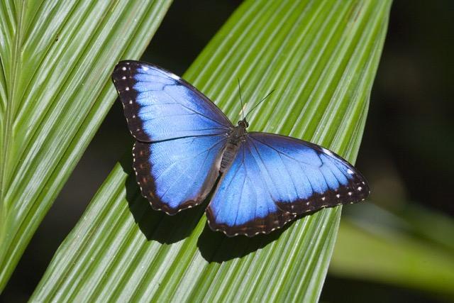 Atlantic-Mariposa