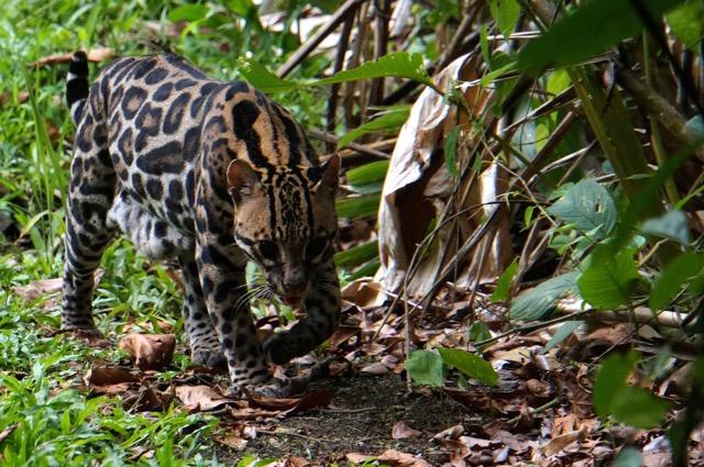 ocelot Costa Rica